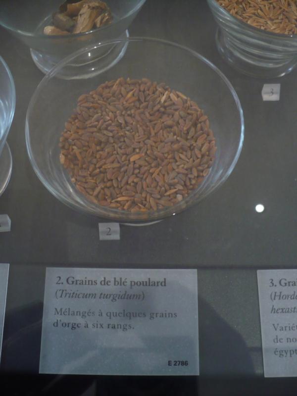 granos de trigo encontrados en las excavaciones
